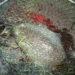 博多湾でコウイカが釣れる時期と美味しい食べ方