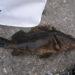 タケノコメバルは幻の高級魚?そのお味は?